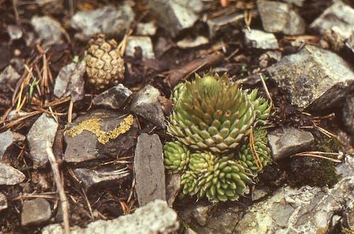 Succulent Plant Growing in Gravel