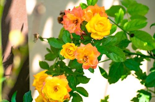 Immagine gratuita di amore, bellezza, bocciolo