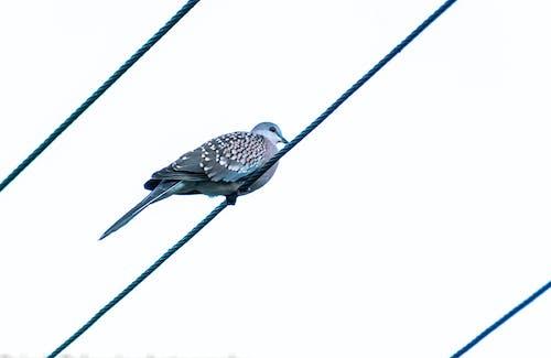 Immagine gratuita di animale, colomba, fauna