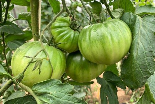 Immagine gratuita di foglie, pianta, pianta di pomodoro