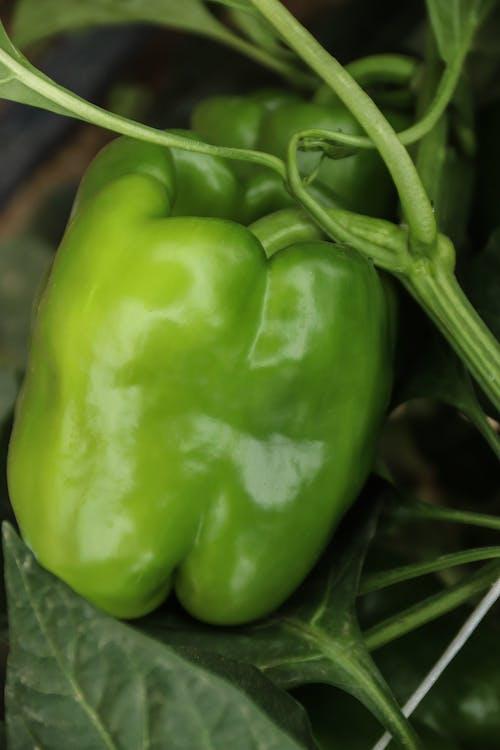 Immagine gratuita di foglie, peperone, pianta