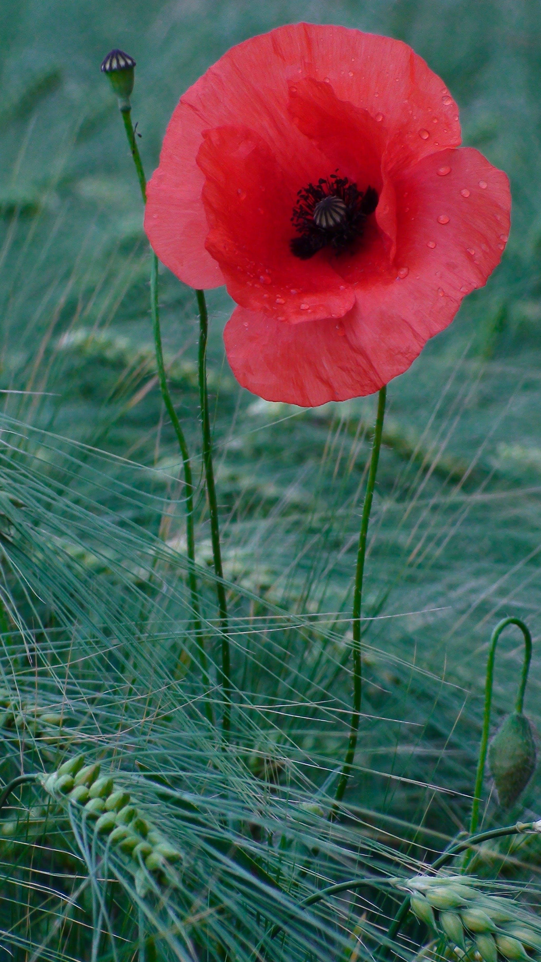 Free stock photo of amapola, flor