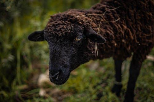 Imagine de stoc gratuită din adorabil, agricultură, alpaca