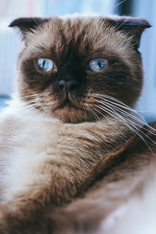 Darmowe zdjęcie z galerii z głowa, kot, niebieskie oczy