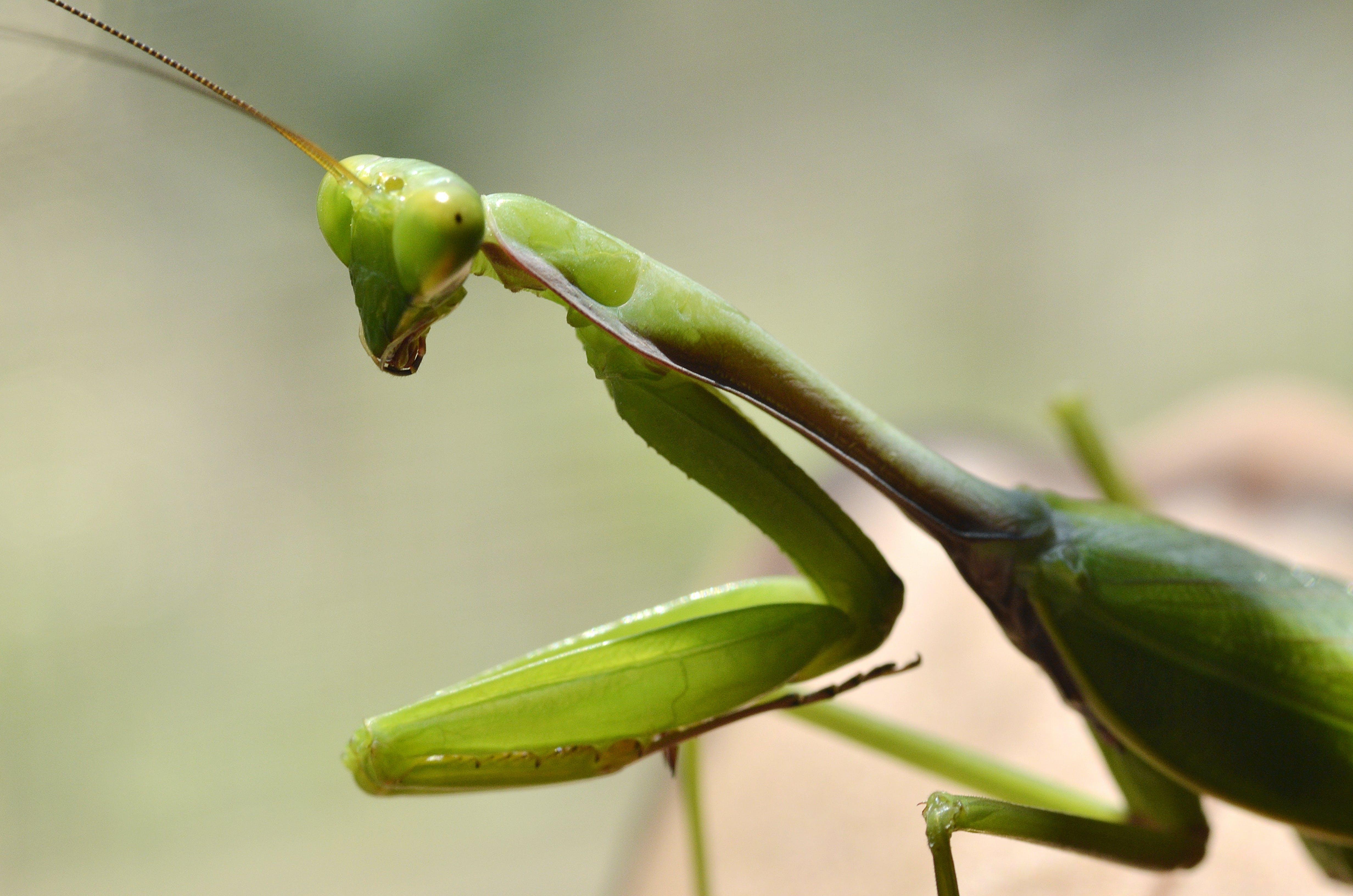 Green Praying Mantis in Close-up Photography