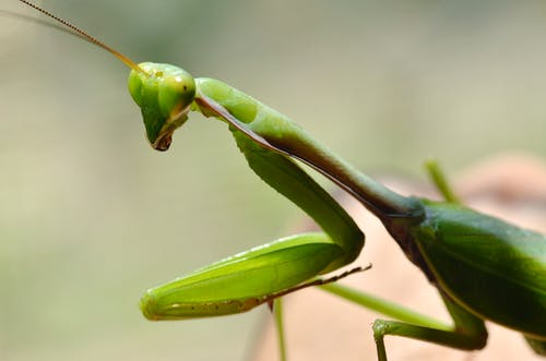 Green Praying Mantis in Close-up Photography