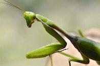 insect, macro, grasshopper