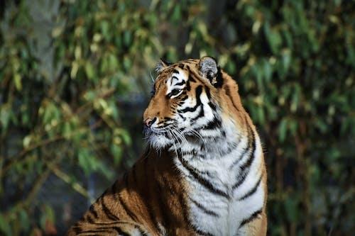Free stock photo of carnivore, cat, predator