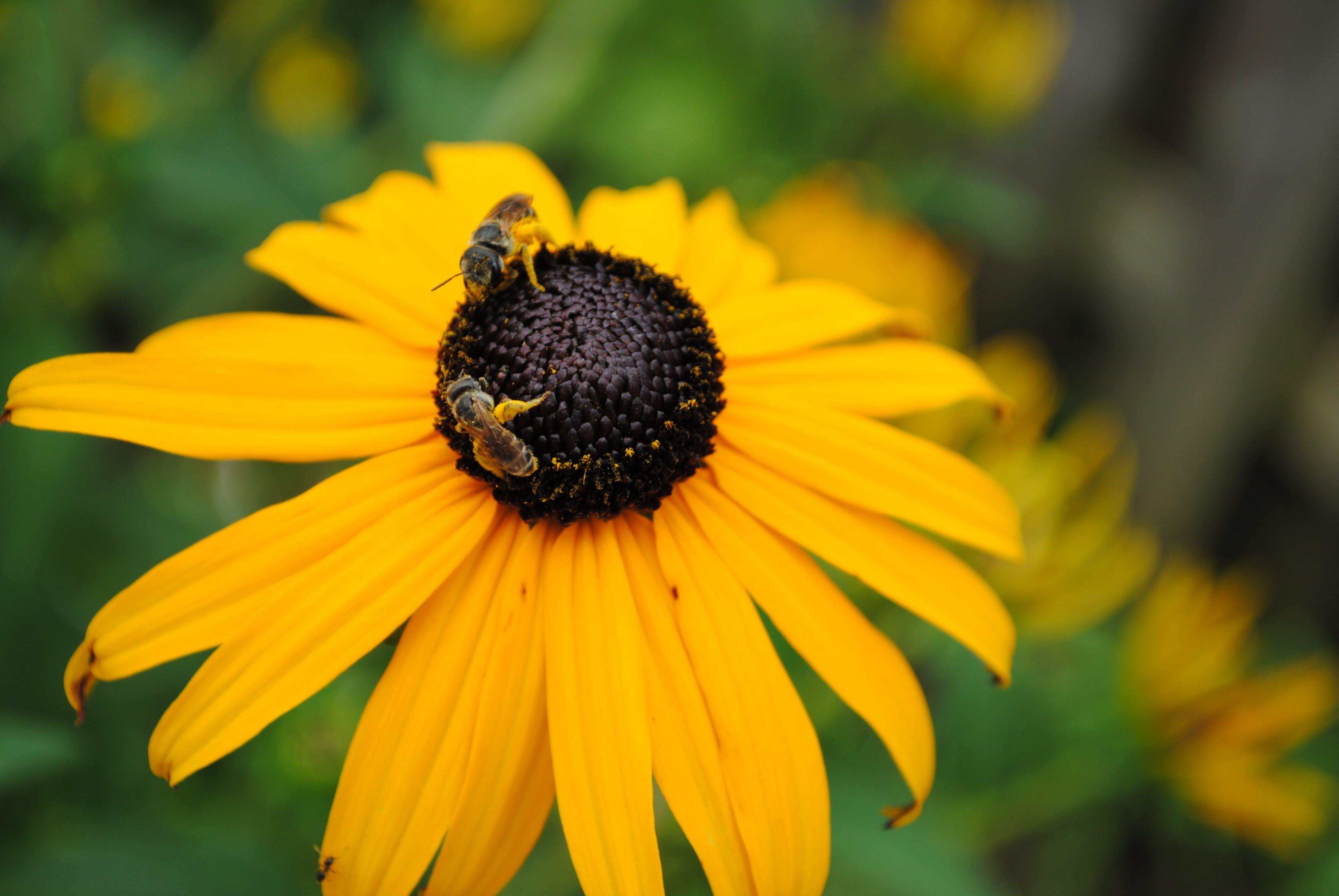 Closeup Photo of Yellow Sunflower in Bloom