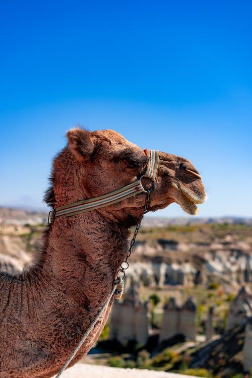 Brown Camel Under Blue Sky