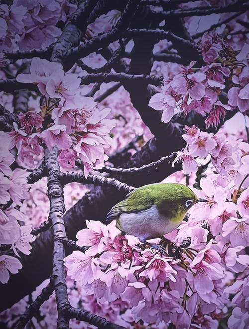 꽃, 도쿄, 벚꽃의 무료 스톡 사진