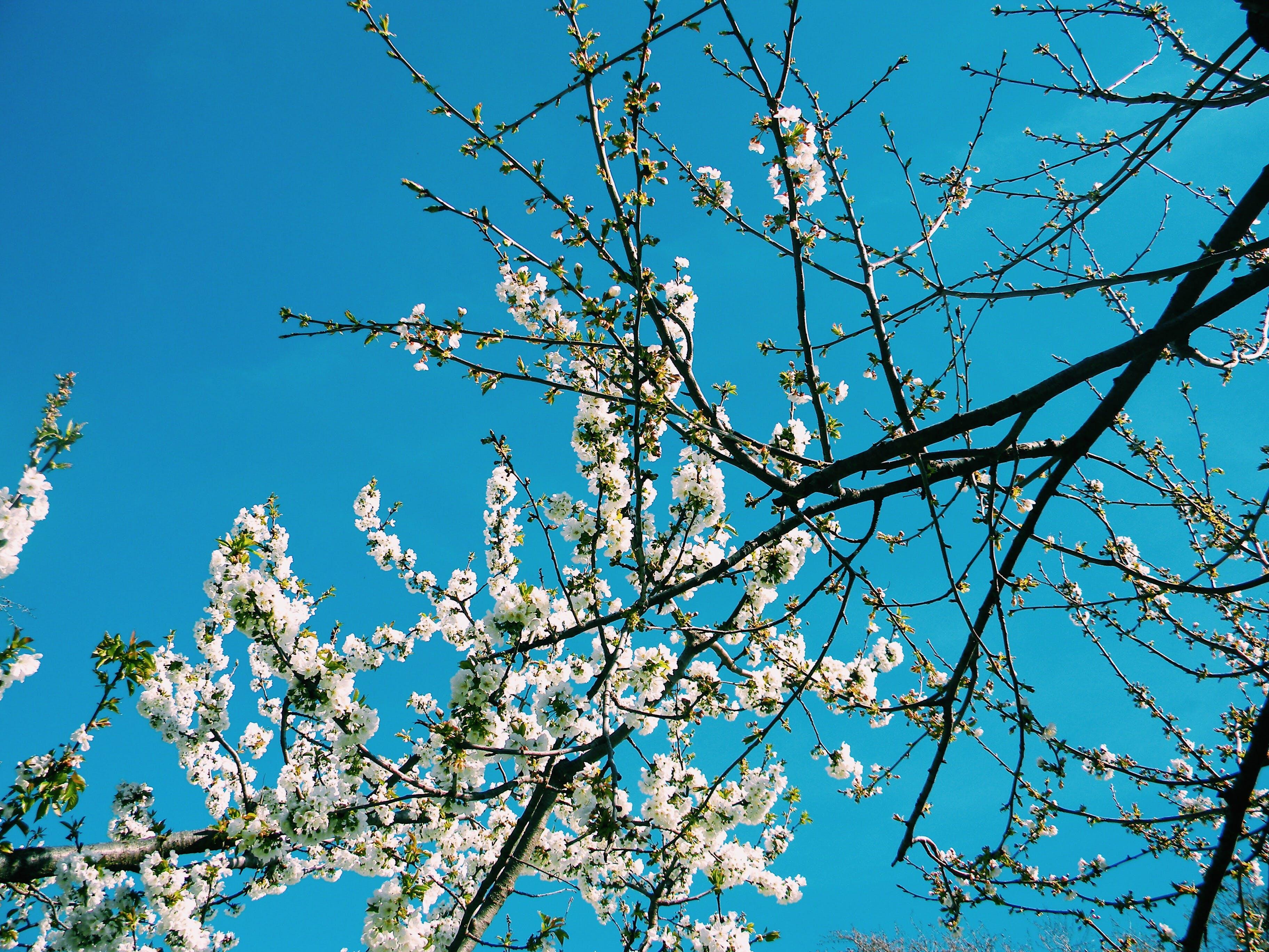 Free stock photo of beautiful flowers, cherries, cherry, cherry blossom