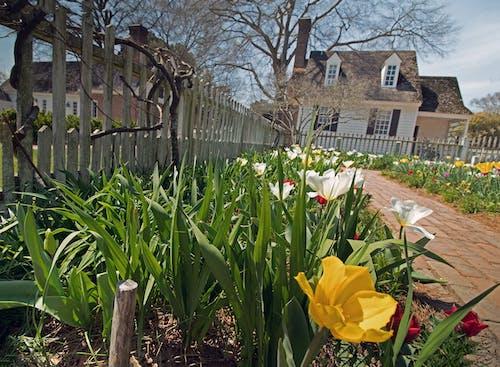 Gratis lagerfoto af gule tulipaner, historisk, hvide tulipaner, hvidt hegn