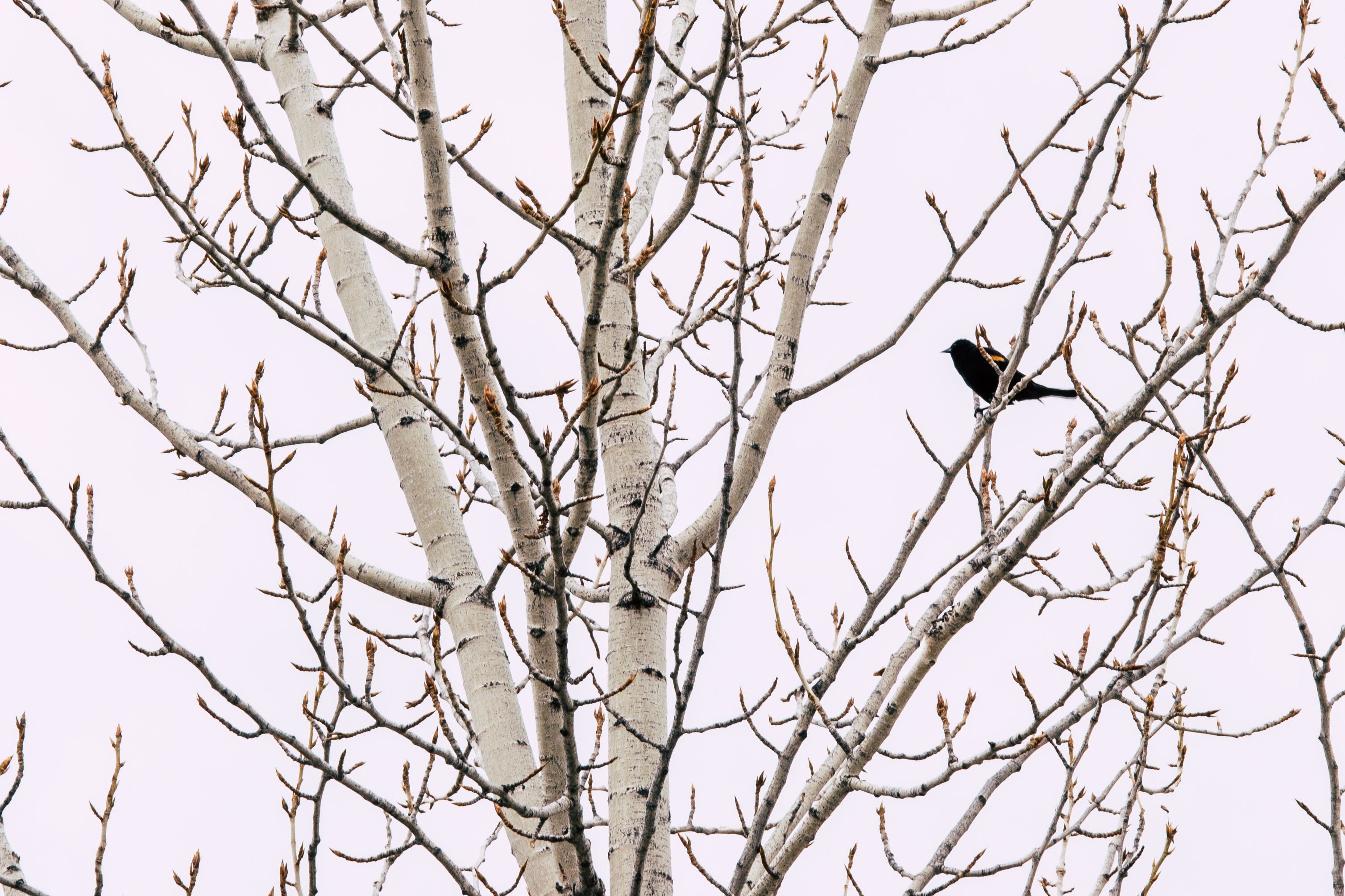 Black Bird on Gray Bare Tree