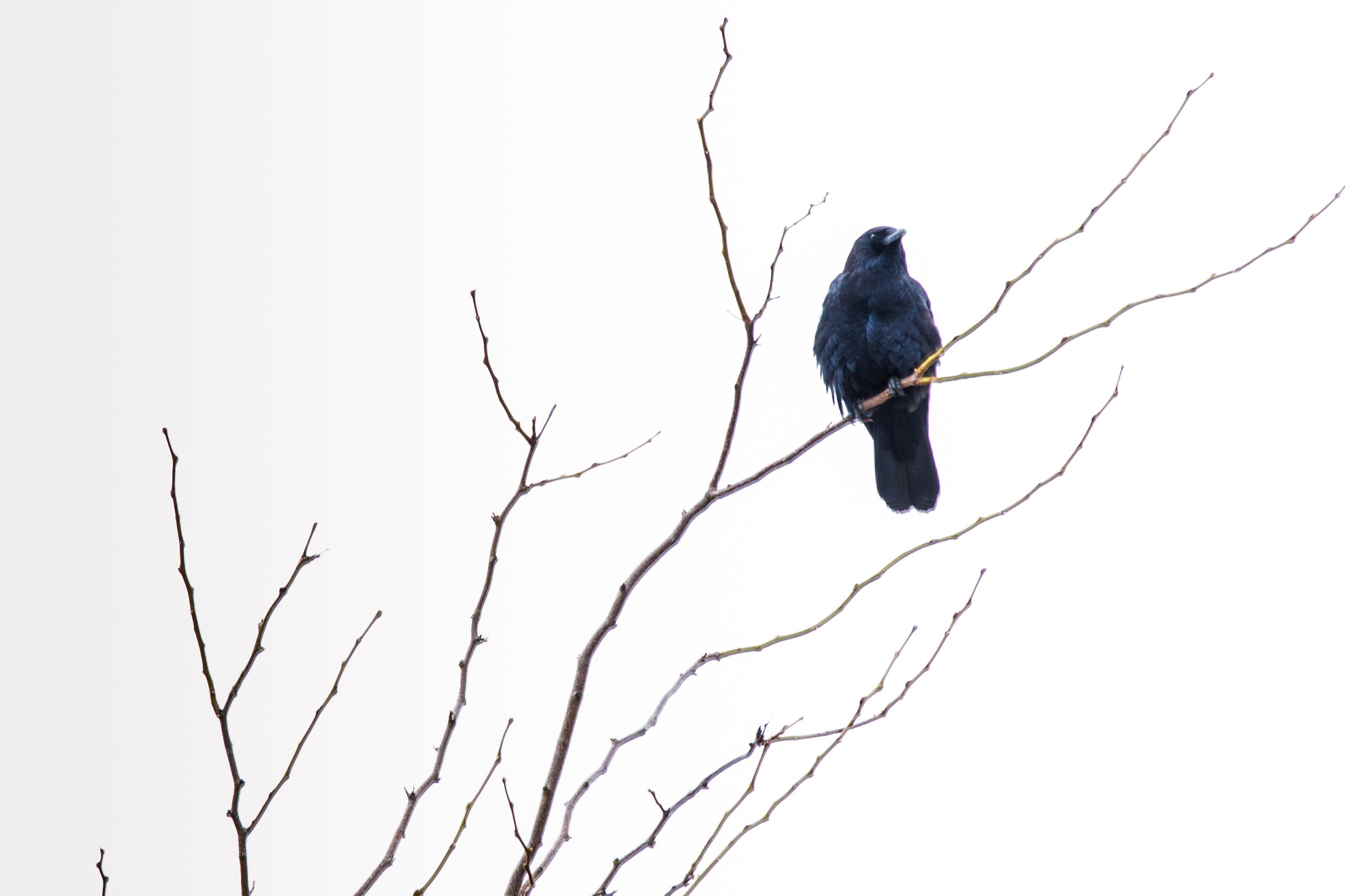 Free stock photo of tree, raven, gloomy, perched