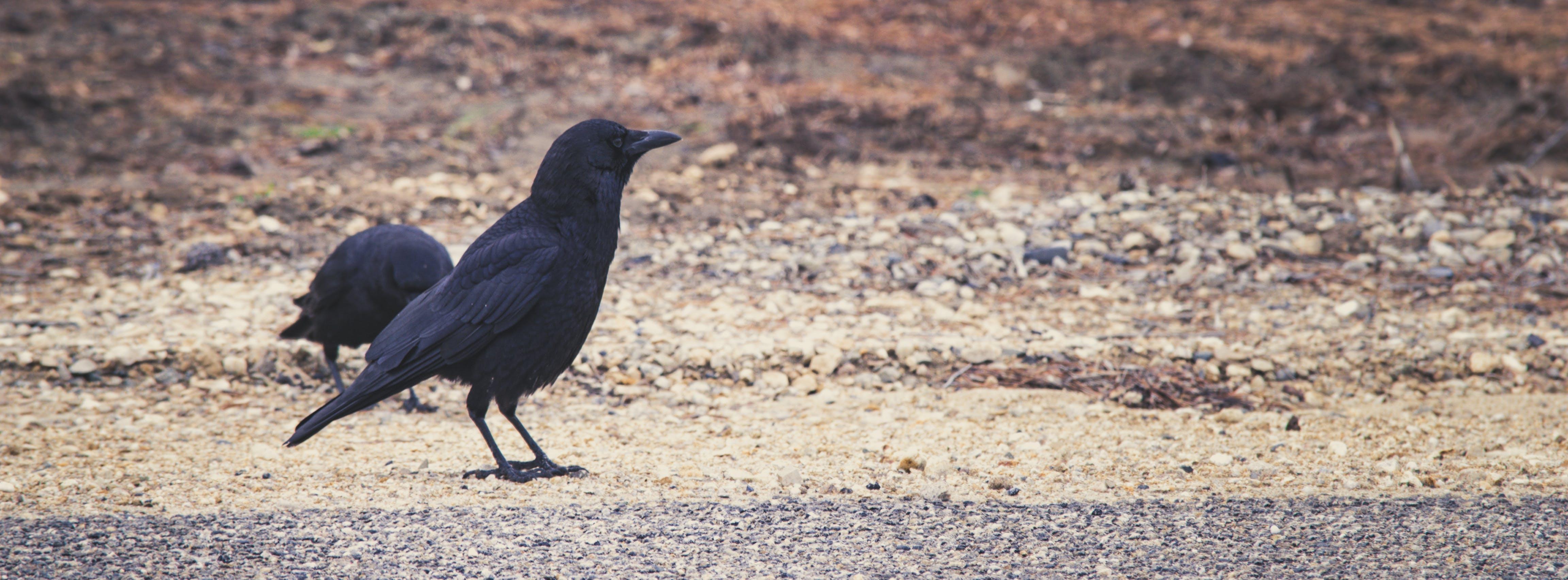 Free stock photo of bird, crow, road
