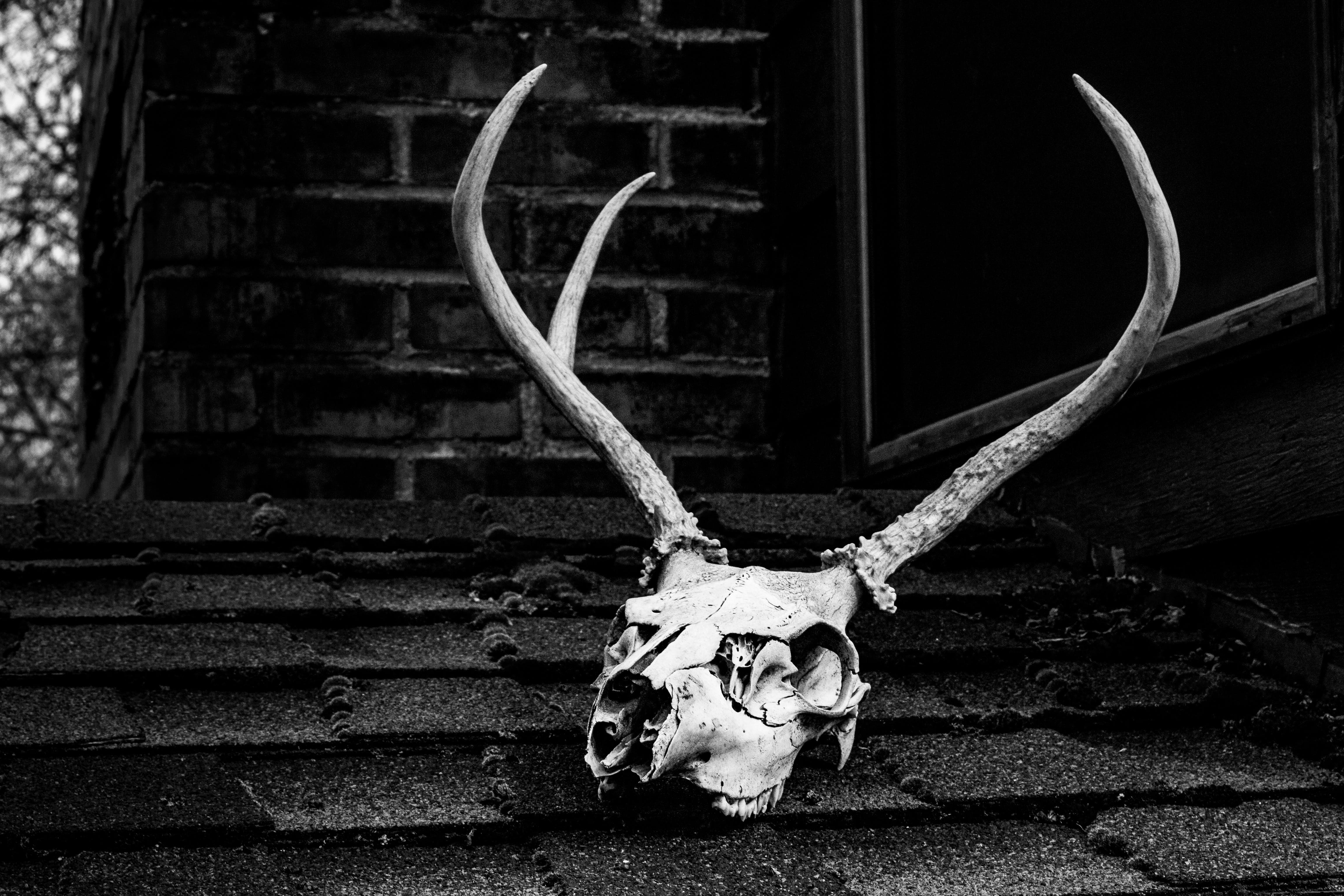 Grayscale Photo of Skull With Antler