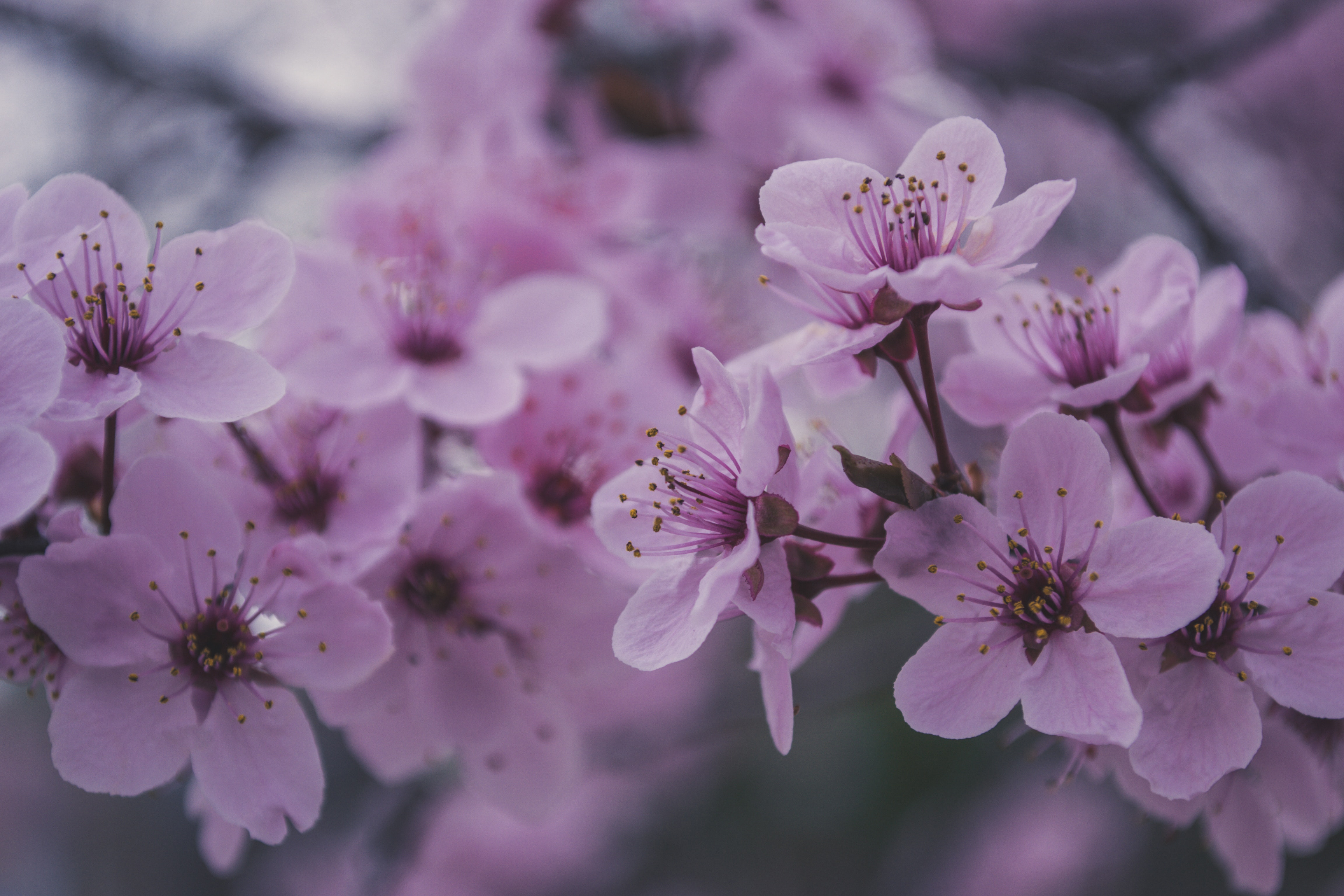 Free Stock Photo Of Beautiful Flowers Cherry Blossoms Pink