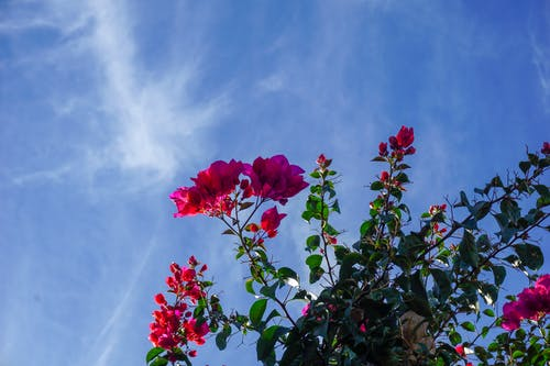 Free stock photo of blue sky, mexico, pink flowers, sky