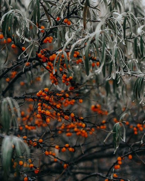Imagine de stoc gratuită din anotimp, arbore, boabe