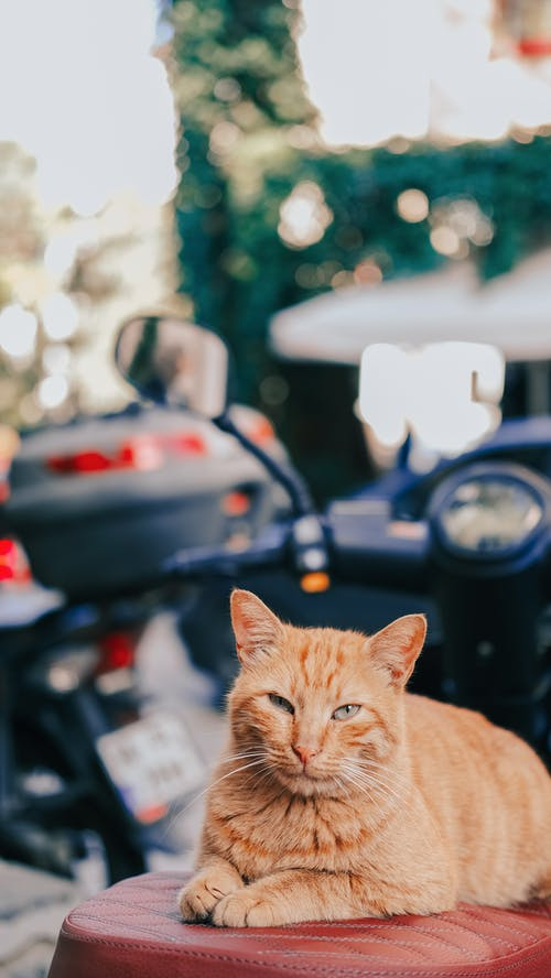 Orange Tabby Cat on Black Car