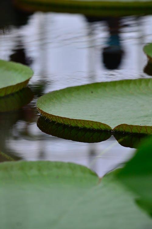 거대한 수련, 녹색, 물의 무료 스톡 사진