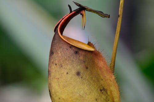 곤충의, 네펜데스 비칼카라타, 보르네오의 무료 스톡 사진