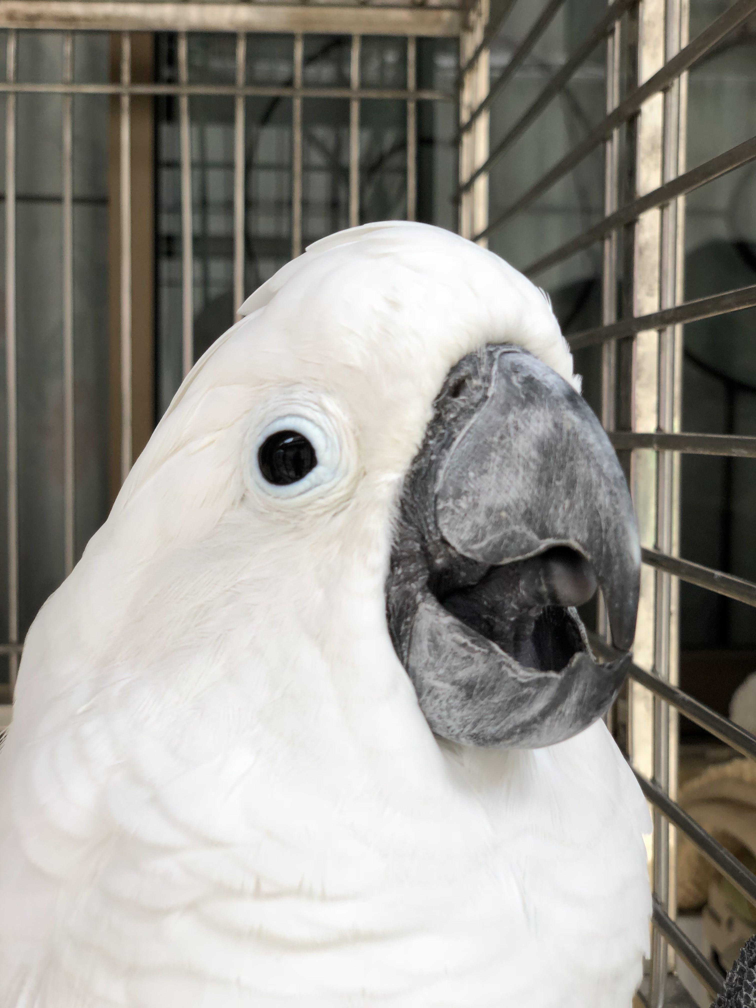 Free stock photo of bird, animal, parrot, white bird