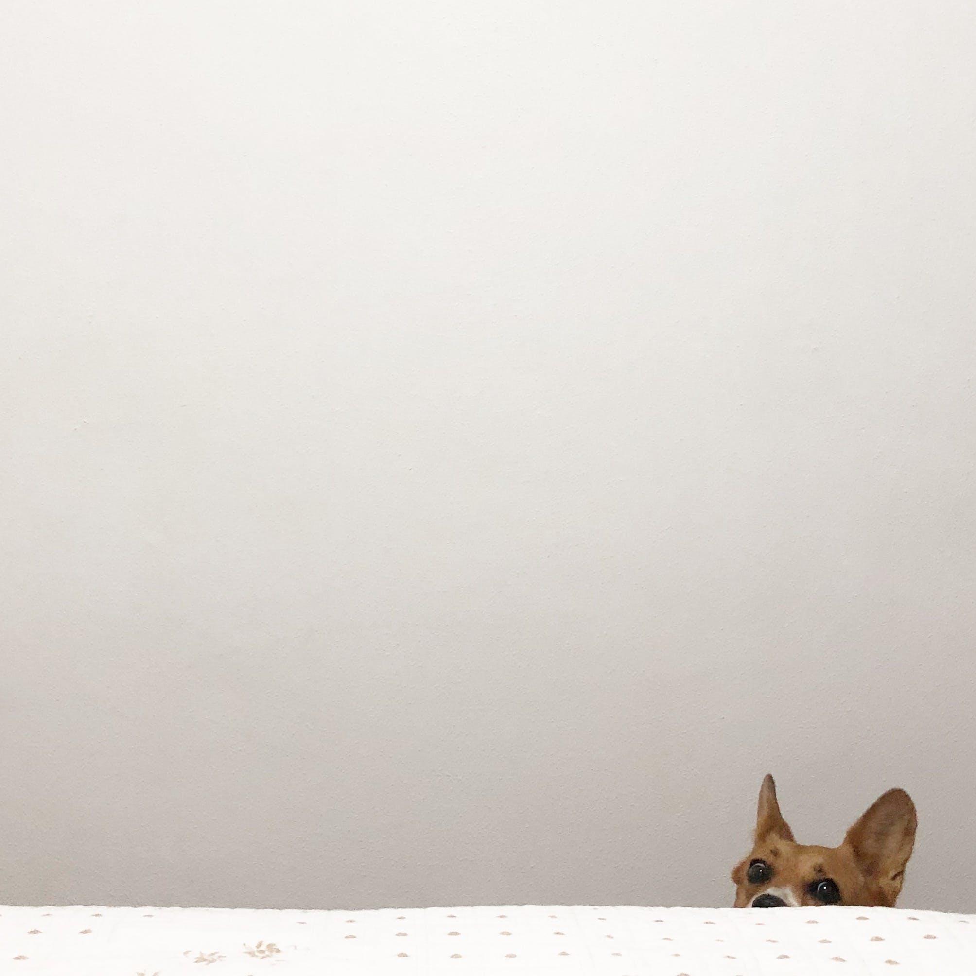 Free stock photo of wall, dog, peeking, home interior