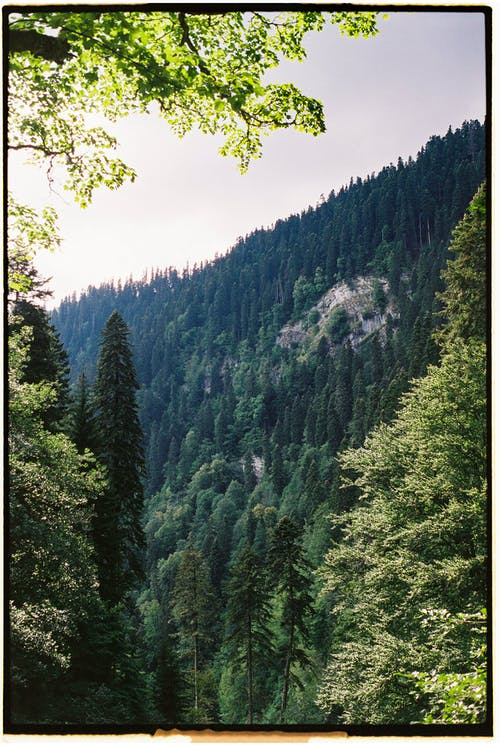 Imagine de stoc gratuită din arbori veșnic verzi, codru, dens