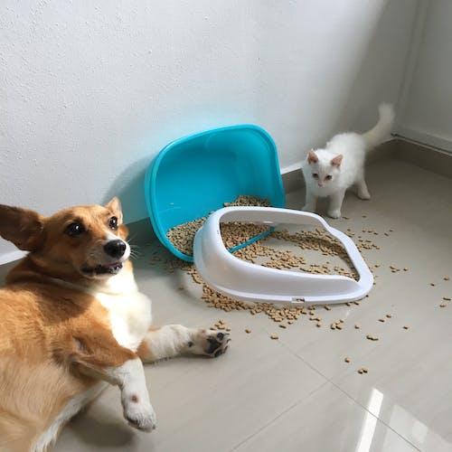 Gratis lagerfoto af Corgi, hund, kat, kattegrus