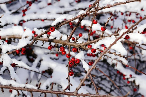 Close-Up View of Branches With Red Berries