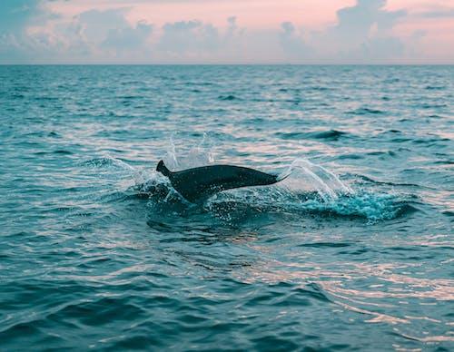 Безкоштовне стокове фото на тему «вода, горизонт, Дайвінг, дельфін»