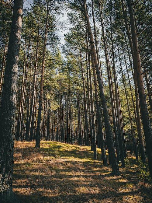 Бесплатное стоковое фото с высокий, дерево, живописные