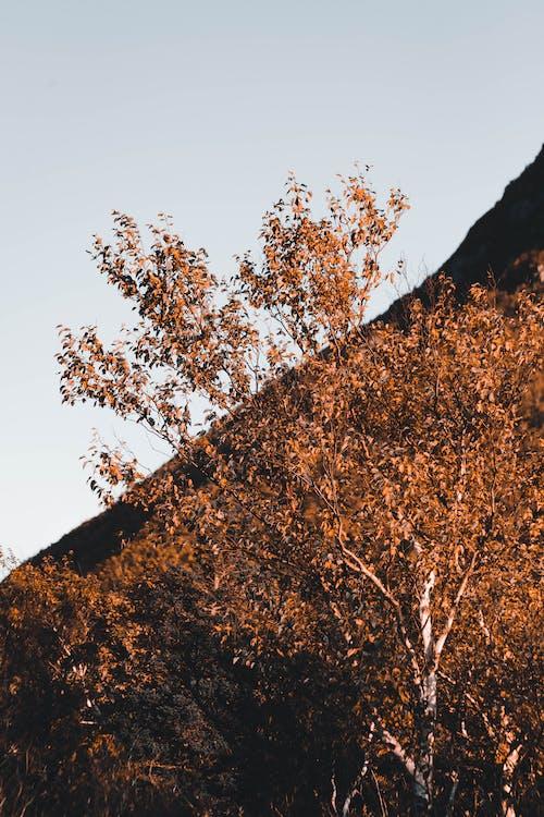 Безкоштовне стокове фото на тему «барвистий, береза, дерево»