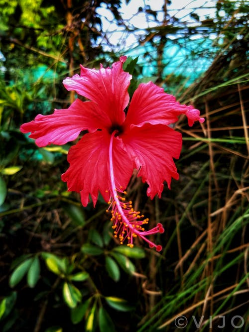 Free stock photo of Hibiscus, red