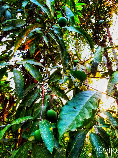 Free stock photo of dark green, evening sun, mangoes