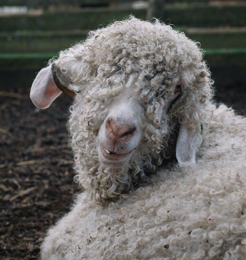 Immagine gratuita di animale, animale della fattoria, animale domestico