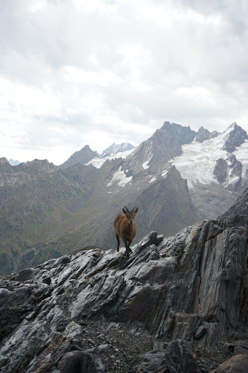 Brown Animal on Rocky Mountain