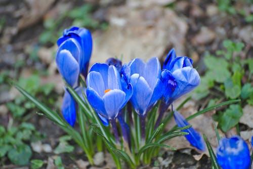 Darmowe zdjęcie z galerii z beautã ©, bleu, botanique, fleurs