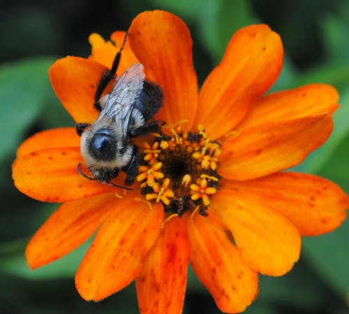Free stock photo of bee, bloom, bumblebee