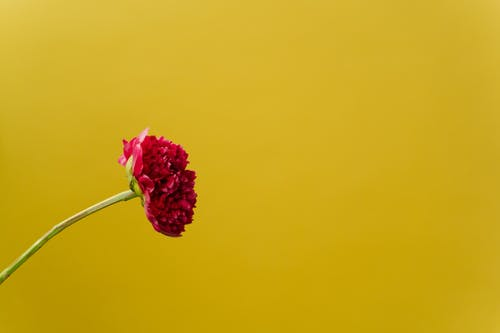 Free stock photo of colorful, flower, negative space