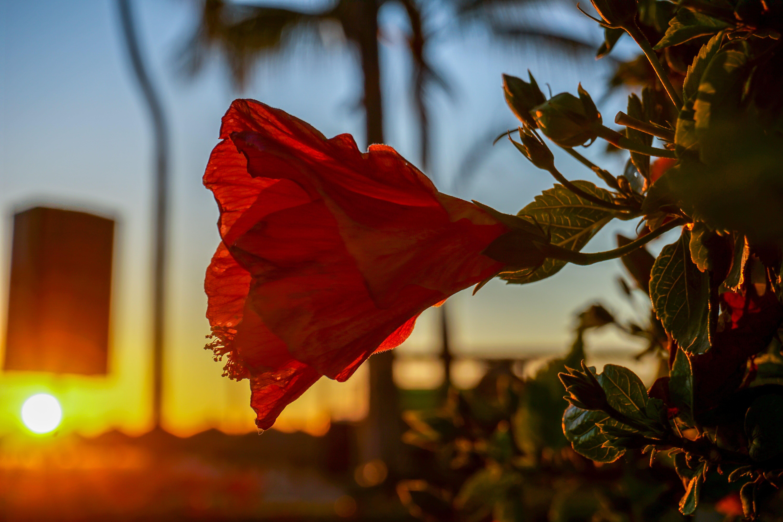 Δωρεάν στοκ φωτογραφιών με γκρο πλαν, δύση του ηλίου, κόκκινο λουλούδι, Μεξικό