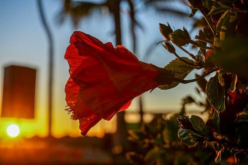 gün batımı, kırmızı çiçek, Meksika, yakından içeren Ücretsiz stok fotoğraf