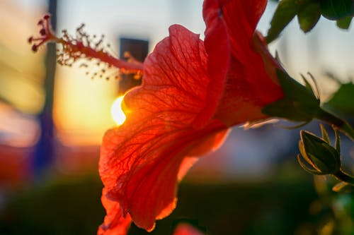 Free stock photo of close-up, mexico, red flower, sunset