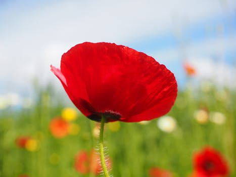 1000 interesting poppy flowers photos pexels free stock photos close up photo of red petalled flower during daytime mightylinksfo Image collections