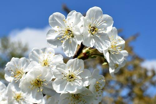 คลังภาพถ่ายฟรี ของ ดอกซากุระ, ดอกไม้, พฤกษา, เบ่งบาน