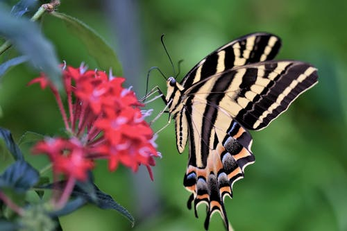 Black and Yellow Butterfly Perched on Pink Flower