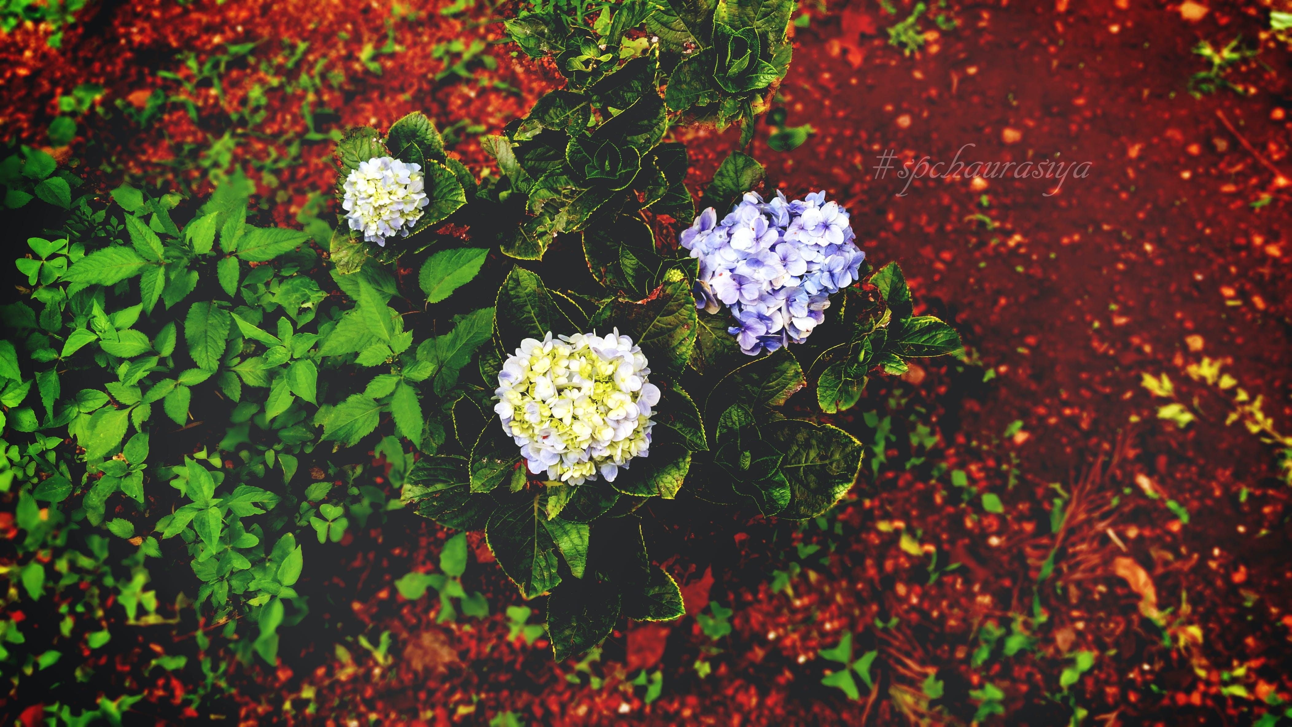 Free stock photo of blue, blue flower, bunch, coffee garden
