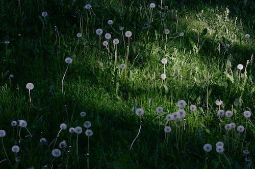 คลังภาพถ่ายฟรี ของ pappus, กลางแจ้ง, ดอกไม้ป่า
